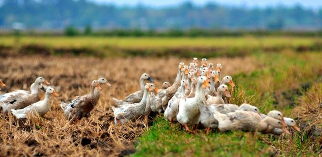 Vịt - Duck